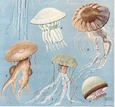 Vintage jellyfish illustration - photo#46