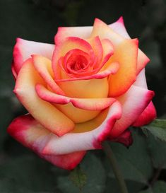 Unfailing Love Rose by Rosanne Jordan Unfailing Love Rose~ Rosanne Jordan Photography Art. Unique Roses, Beautiful Rose Flowers, Pretty Roses, Amazing Flowers, Beautiful Flowers, Love Rose Flower, Rose Reference, Foto Rose, Fleur Orange