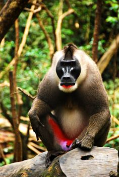 Very rare and endangered Drill Monkey in West Africa