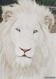 Ridiculously Photogenic White Lion