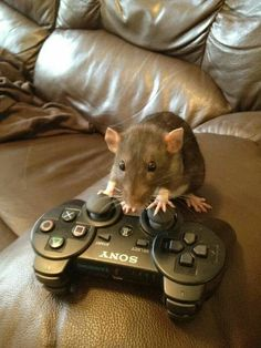 Gaming 4 Happiness on I.You can find Xbox and more on our website.Gaming 4 Happiness on I. Funny Rats, Cute Rats, Cute Little Animals, Cute Funny Animals, Cute Creatures, Rodents, Funny Animal Pictures, Guinea Pigs, Animals And Pets