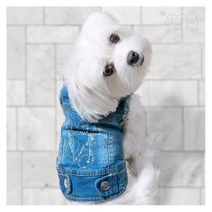 Decorated your jean jacket yet? We'd love to see your designs! This is B as in Bailey (and Bling!!✨) ・・・ Jean jacket and bow tie into www.unitedpups.com/ ・・・ #tot #coolkid #socool #cold