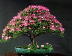 mimosa bonsai tree | ... -dwarf-tree-seed-with-30pcs-japanese-pine-tree-seed-as-gift.jpg