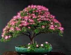 mimosa bonsai tree | ... -dwarf-tree-seed-with-30pcs-japanese-pine-tree-seed-as-gift.jpg