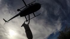 One of the most exciting aspects of field biology is capturing and handling animals, and this video puts you in the cockpit to witness the dynamics of net gunning mule deer from a low-flying helicopter. The goal of the research in southwest Wyoming is to discover reasons for a decline in the mule deer population, now one third below the Wyoming Game & Fish objective of 564,150. WyoFile reporter Angus M. Thuermer Jr. recently joined a research team as they captured 175 mule deer. For the two…