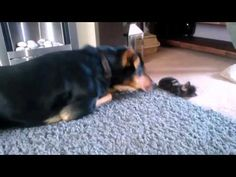 Dog Playing With a cute Kitten