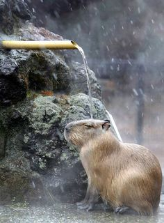 Capybara taking a cascading bath in a cold weather, Japan