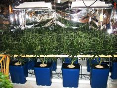 This is NOT Scrog. Or at least, this is a terribly done Scrog. Learn more: http://growweedeasy.com/lbh-scrog-tutorial