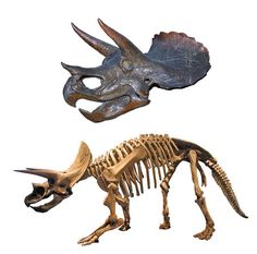 Triceratop /by Zachi Evenor, via Flickr/ Triceratops טריצרטופס, three-horned face, a Ceratopsid dinosaur from Late Cretaceous, North America. Skull photo by Zachi Evenor, skeleton photo by ceasol, processing by MathKnight, Wikipedia Links: www.flickr.com/photos/ceasol/2482666296/ commons.wikimedia.org/wiki/File:Triceratops-0060-skull-an... he.wikipedia.org/wiki/Triceratops