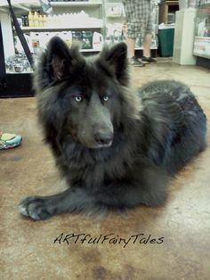 Blue Bay Shepherd.......A cross between a timberland wolf and a german shepherd. Need one for our next house