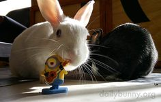 Bunnies show varying degrees of interest in their minion toy - September 7, 2015 - More at today's Daily Bunny post: http://dailybunny.org/2015/09/07/bunnies-show-varying-degrees-of-interest-in-their-minion-toy/
