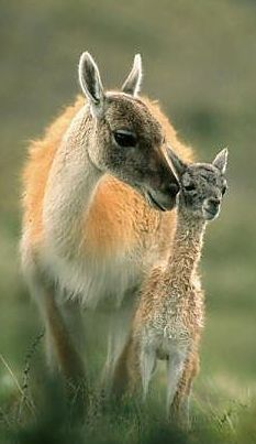 The vicuña (Vicugna vicugna) or alpaca is one of two wild South American camelids which live in the high alpine areas of the Andes; the other being the guanaco. It is a relative of the llama, and is now believed to be the wild ancestor of domesticated alpacas