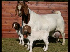 Female boer goat with twins Livestock Farming, Goat Farming, Cabras Boer, Breeds Of Cows, Animals And Pets, Cute Animals, Show Goats, Nubian Goat, Goat Barn