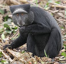 Blue Monkey (Cercopithecus mitis) - photo from Illustrated Encyclopedia of the Animals (Russian website);  Found only in Western Angola, this small monkey lives in evergreen rainforests, usually near large bodies of water. They have a white strip of fur above the eyebrows that points forward. White whiskers become well-developed in males.