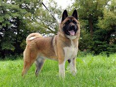 Gorgeous Akita Dog