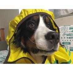 台風注意🌪 チョコはビュービュー風もビビって大変だったのに、バニ男はへっちゃら👍🏻この余裕な顔。笑  #バーニーズマウンテンドッグ #バーニーズ #bernesemountaindog #大型犬 #大型犬のいる生活 #保護犬 #バニ男 #insta_dog #dog #f4f #like4like #イヌスタグラム #バニ部 #愛犬 #instapic #instalike #instadaily #l4l #lovemydog #dogs_of_instagram #petstagram #instadog