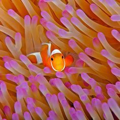 THREATENED BY GLOBAL WARMING: Clownfish, which are also threatened by oceanic acidification that affects their sense of smell, thereby hindering them in their search for the sea anemones in which they live and on which they depend for protection from predators. -http://www.allaboutwildlife.com/endangered-species/species-most-endangered-by-global-warming/4256