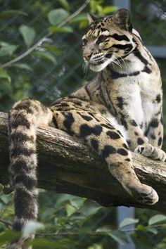 Clouded leopard | PicsVisit