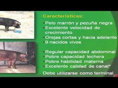 Principales razas porcinas para mejores cruzas - YouTube