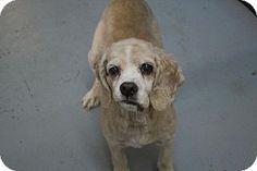 McKenzie, TN - Cocker Spaniel Mix. Meet Shelby, a dog for adoption. http://www.adoptapet.com/pet/13744277-mckenzie-tennessee-cocker-spaniel-mix