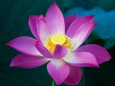 flor de Lótus India