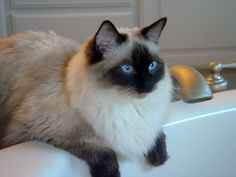ragdoll seal colorpoint