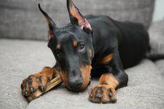 Lucie Ellederová #Doberman #puppy