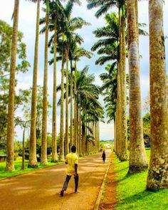 Aburi-diculous Garden Beauty  #throwback edit from 2 yrs ago . #Ghana #Aburi #garden #royal #palmtrees #royalpalm #walk #stroll #contrast #definition #travel #africa #westafrica #accra #fufu #green #summer #wanderlust #thisisafrica #travelafrica #travelblog #botanical by kristianontology