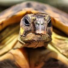 Billedresultat for landskildpadde