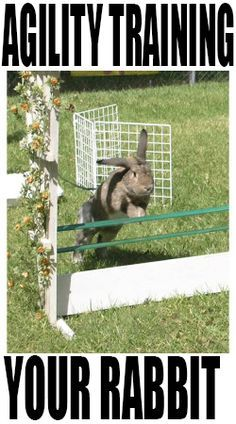 Agility training your rabbit: obstacle courses! (guest blog by Joan Orr and Teresa Lewin)