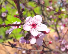 Cherry Blossoms   THE MORNING STARR   Photography, Art & Wellbeing