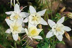 Aquilegia caerulea pinetorum