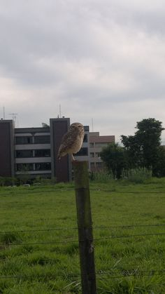 Father owl - Brasília, DF