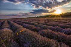 Lavender by Konstantin Stoychev