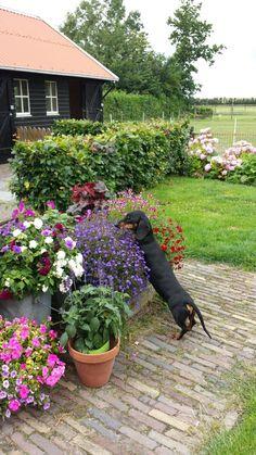 Quegley FBP Miniature Dachshunds, Doggy Stuff, Dachshund Love, Inu, Dog Art, Cute Animals, Gardening, Puppies, Horses