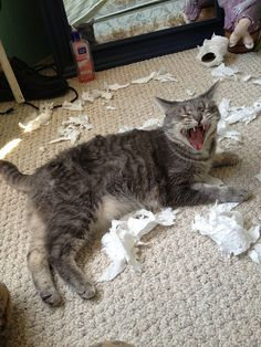 photos of cats shredding paper - Bing images Funny Animal Memes, Funny Cat Videos, Funny Animal Pictures, Funny Animals, Cute Animals, Animal Funnies, Cat Memes, Bad Cats, Funny Cats And Dogs
