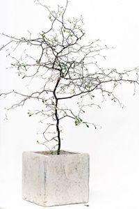 Corokia Cotoneaster Source by claudiamacha Inside Plants, Cool Plants, Green Plants, Outdoor Plants, Outdoor Gardens, Indoor Bonsai, Decoration Plante, Plants Are Friends, Famous Gardens