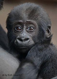 Gorilla Sawa