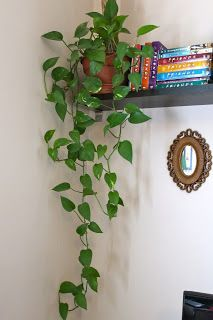 #plants #decoration Philodendron - I love how easy these plants are to maintain and how quickly they grow.  One of the best house plants a person can have.