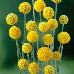 Long Flowers, Cut Flowers, Dried Flowers, Hello Hello Plants, Globe Flower, Coastal Gardens, Low Maintenance Plants, Landscaping Plants, Golden Globes