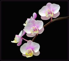 orchids 25 by thom-b-foto