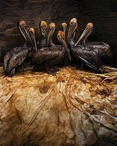 Veolia Environnment Wildlife Photographer of the Year 2011 Winner: Still life in Oil. Crude oil trickles off the feathers of the rescued brown pelicans, turning the white lining sheets into a sticky, stinking mess. The pelicans are going through the first stage of cleaning at a temporary bird-rescue facility in Fort Jackson, Louisiana. Photo: Daniel Beltrá