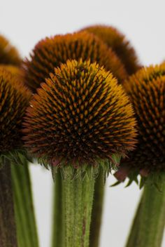 Coneflower Seedheads    ::: oceanviewflowers.com