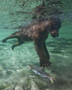 Grizzly bear fishing salmon