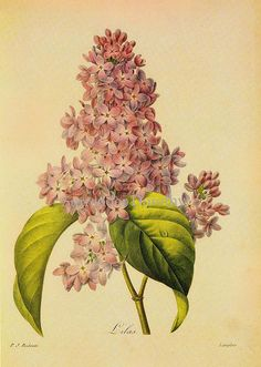 Syringa vulgaris Lilac Redouté Botanical Illustration | Flickr - Photo Sharing!