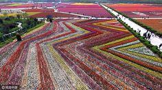 La perfecta geometría vegetal en los campos de tulipanes chinos de Zhumadian.   Matemolivares
