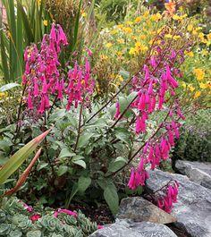 "hummingbird magnet ""Cape Fushia"" Phygelius capensis 'Magenta' - From Annie's Annuals & Perennials"