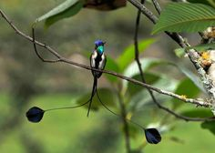 Male Marvellous Spatuletail hummingbird (Loddigesia mirabilis), Peru ~ photo by Daniel Rosengren.