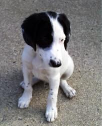 Handsome is an adoptable Border Collie Dog in Fowlerville, MI. This pet WILL NOT be shown before our Showing Event, so please do not inquire if the animal can be shown before Saturday, phone calls wil...
