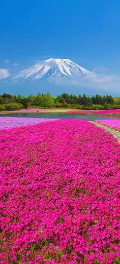 Mount Fuji with the field of pink moss at Shibazakura festival, Yamanashi, Japan